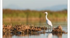 Eté 2011 – A l'aube avec les oiseaux de l'étang de Canet – St Nazaire