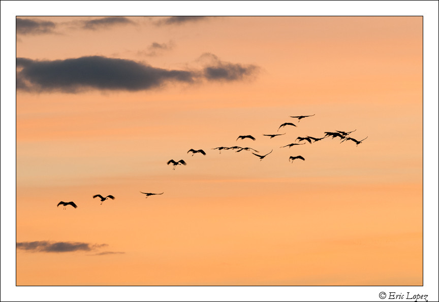 Grand groupe de grues -2