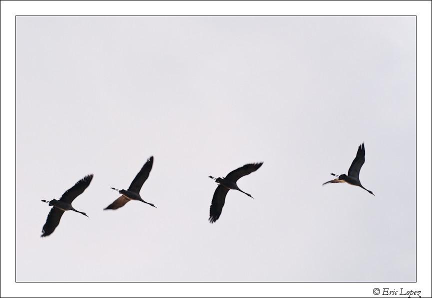 Grues aux ailes floues