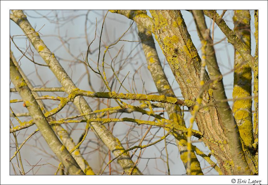 Lichens sur un arbre