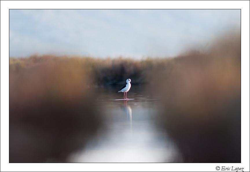 Echasse blanche dans la lagune