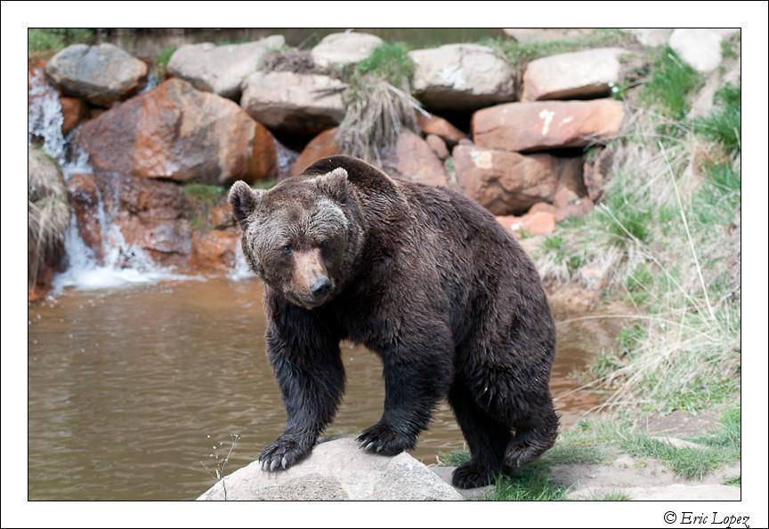 Ours des Pyrénées (Parc des Angles)