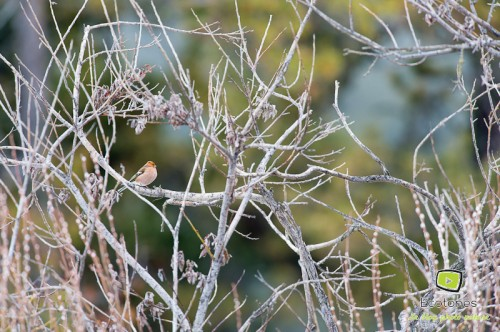 Pinson des arbres - mâle au plumage atypique sur la tête