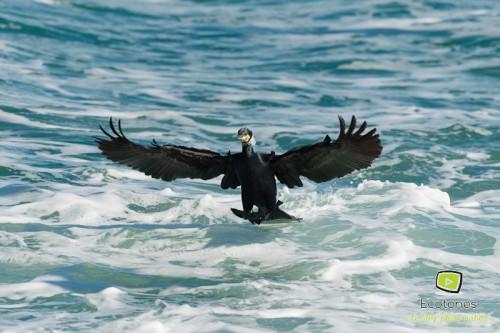 Amerrissage d'un Grand cormoran