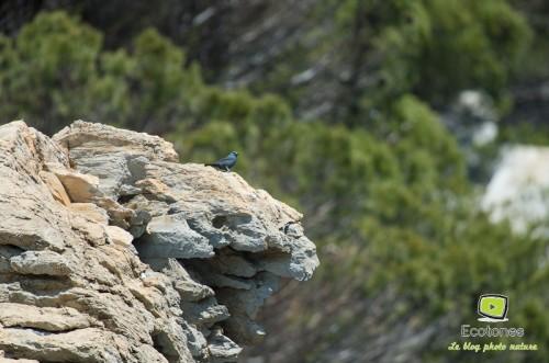 Monticole bleu dans les falaises