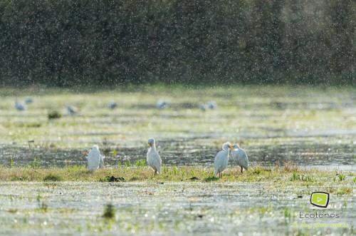 Hérons gardeboeufs sous la pluie - Parc des Aiguamolls